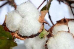 Bettwaren - Baumwollpflanze