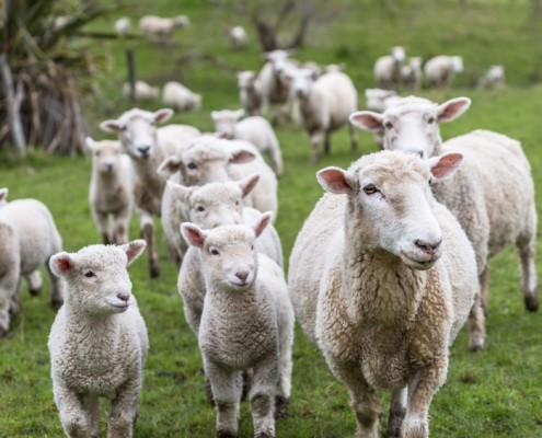 Kissen aus Schafschurwolle